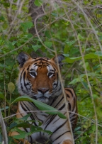The Jinx is Broken – Tiger in Bandipur