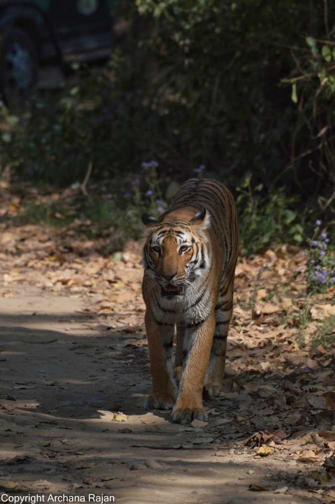 Tiger-21-02