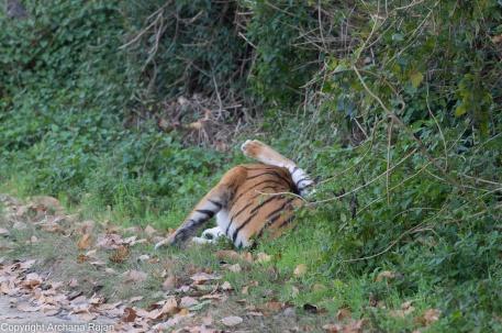 tiger-68-01