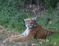 tiger-72-1-01