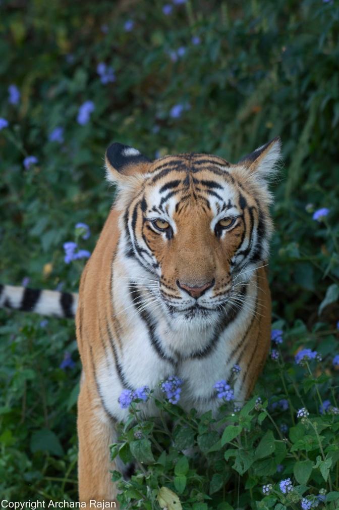 tiger-86-01